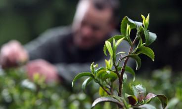 Производство чая: путь от плантации до чашки
